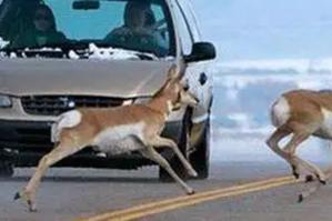高速上遇到小动物,到底撞还是不撞?别纠结了